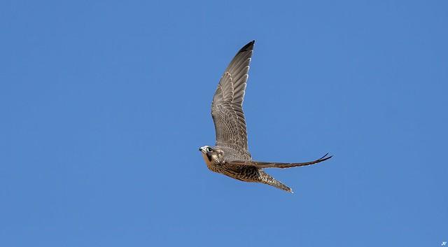 Peregrine Falcon, Derbyshire.
