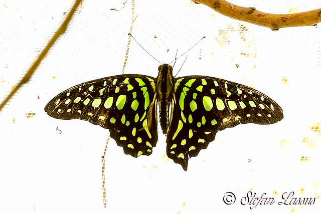 Graphium agamemnon / Tailed Jay