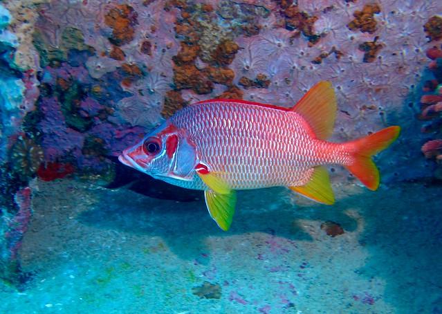 Sabre squirrelfish (Sargocentron spiniferum) 30cm