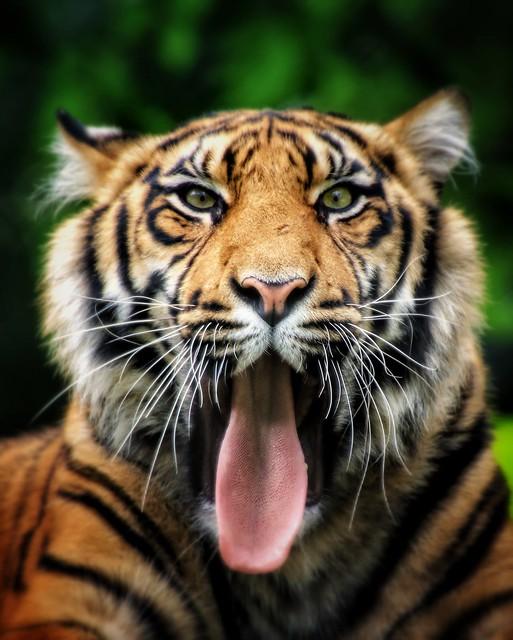 Sumatra Tiger...