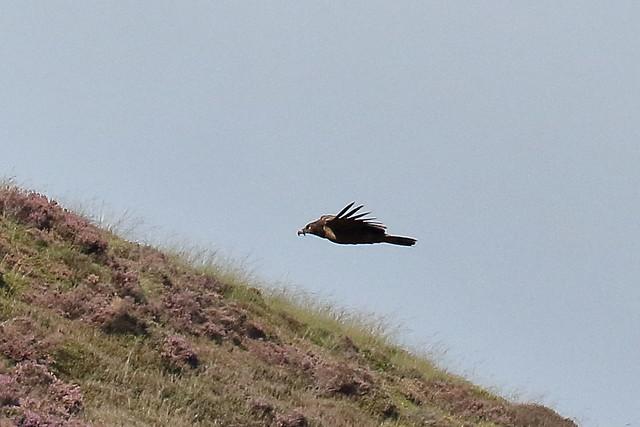 Bearded Vulture (Gypaetus barbatus) - female