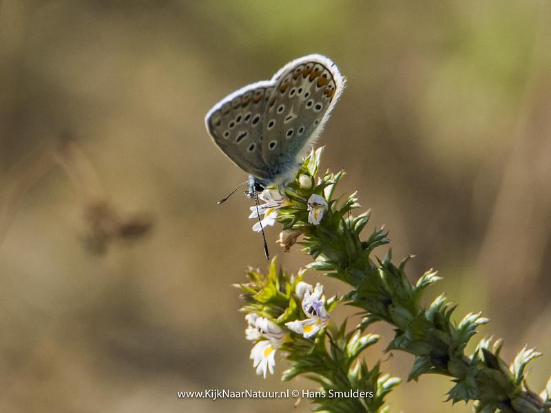 Icarusblauwtje (Polyommatus icarus)-820_4902