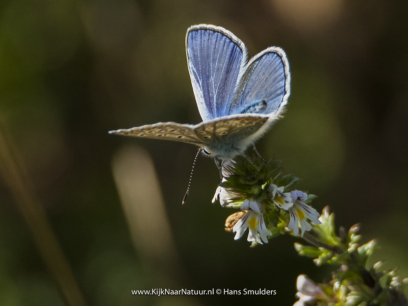Icarusblauwtje (Polyommatus icarus)-820_4901