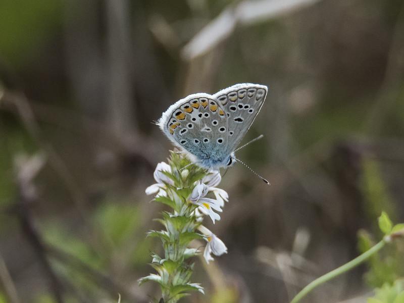 Icarusblauwtje (Polyommatus icarus)-820_4868