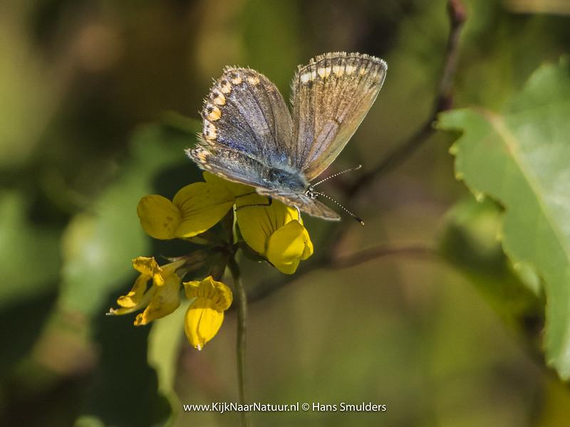Bruin blauwtje (Aricia agestis)-820_4970