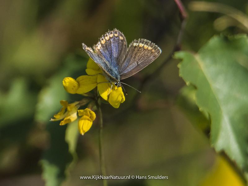 Bruin blauwtje (Aricia agestis)-820_4967