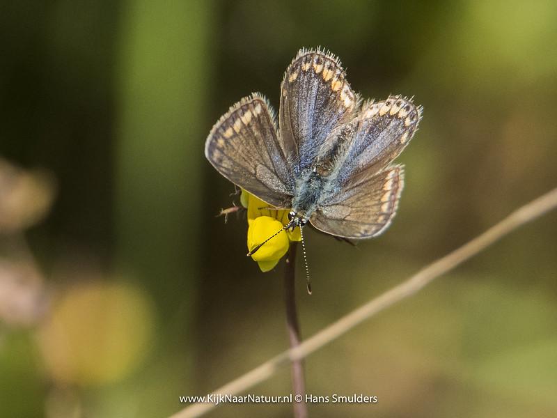 Bruin blauwtje (Aricia agestis)-820_4880