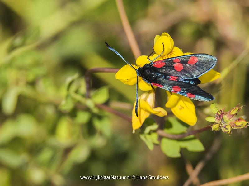 Vijfvlek-sint-jansvlinder (Zygaena trifolii)-820_4942