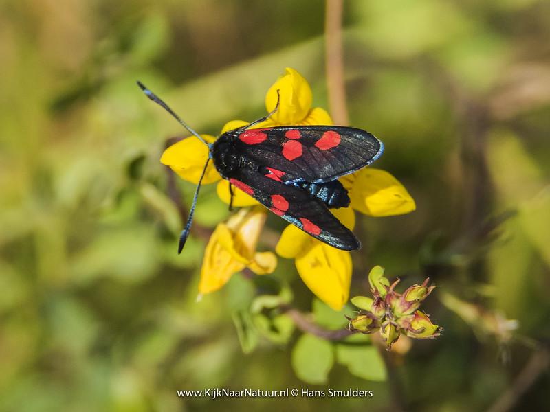 Vijfvlek-sint-jansvlinder (Zygaena trifolii)-820_4940