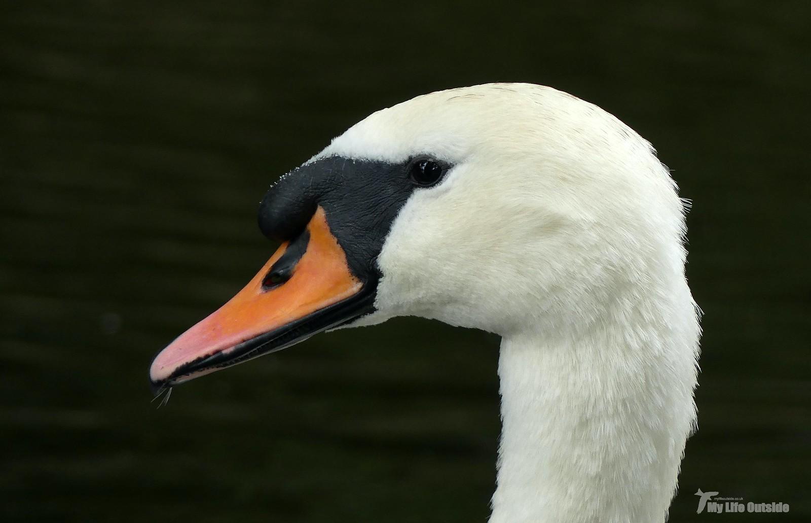 P1240700 - Mute Swan