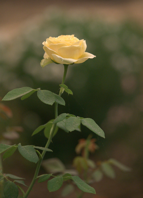 ...taking rose photos on this smoky day, September 9th, in the San Francisco Bay Area