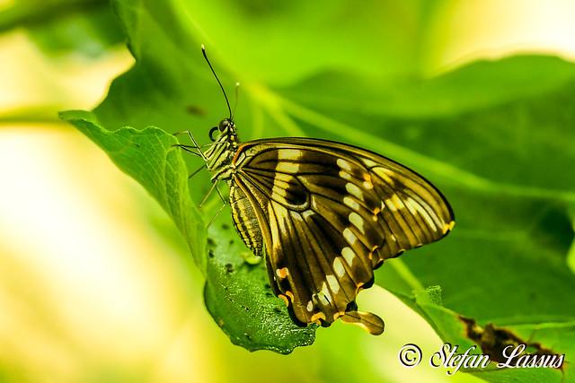 Papilio dardanus / Mocker swallowtail