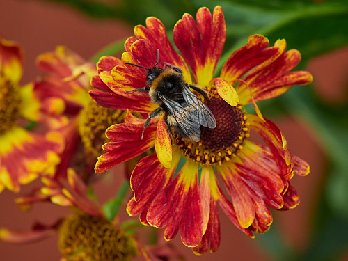 More bees on the Heleniums