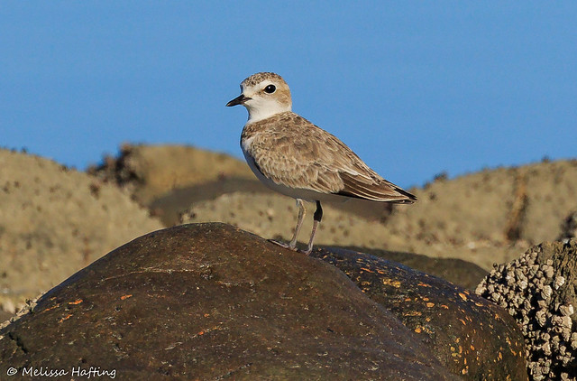 Snowy Plover (Charadrius nivosus) - Campbell River, BC