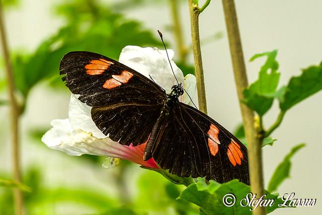 Heliconius melpomene / Common postman