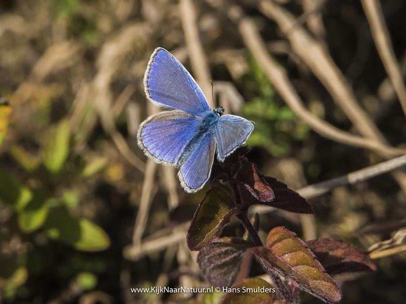 Icarusblauwtje (Polyommatus icarus)-820_4953