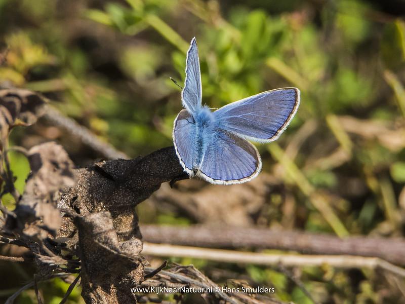 Icarusblauwtje (Polyommatus icarus)-820_4949