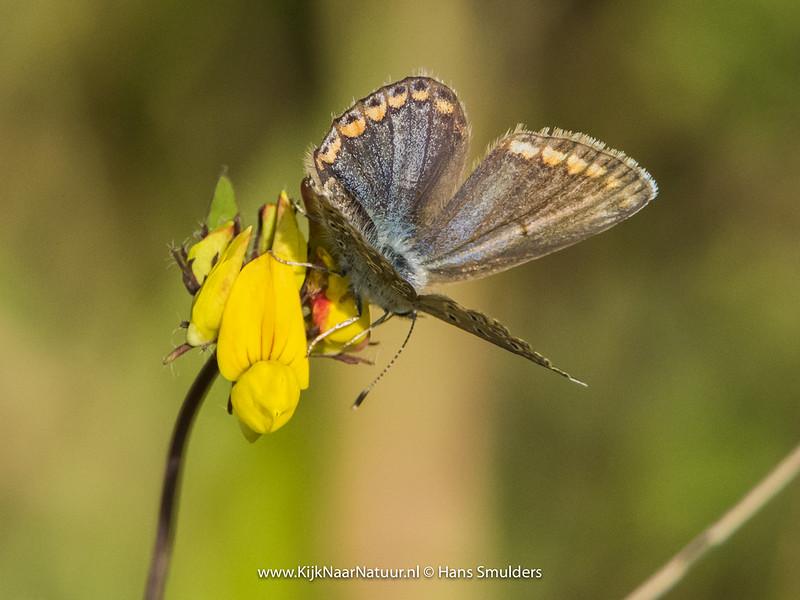 Bruin blauwtje (Aricia agestis)-820_4888