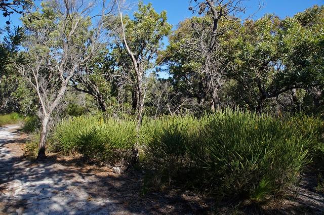 Wallum country with Aotus bush and Banskias tree