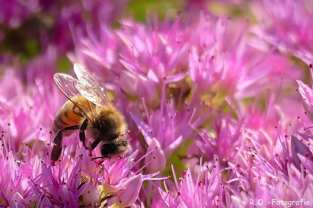Biene / Bee