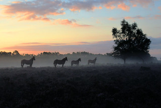 IMG_1689 - New Forest Ponies - 10.09.20 | by Colin D Lee