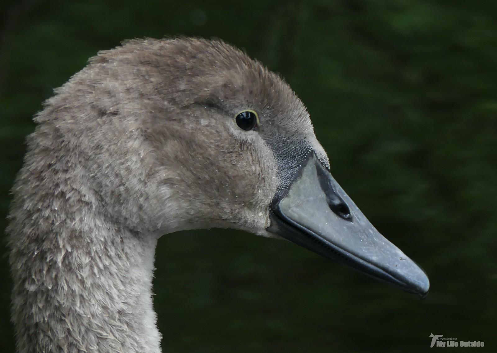 P1240703 - Mute Swan