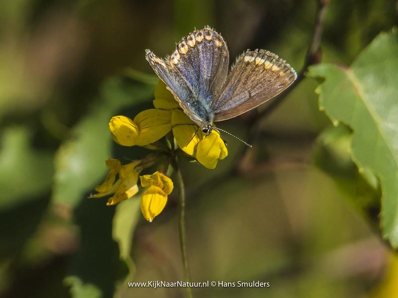 Bruin blauwtje (Aricia agestis)-820_4969