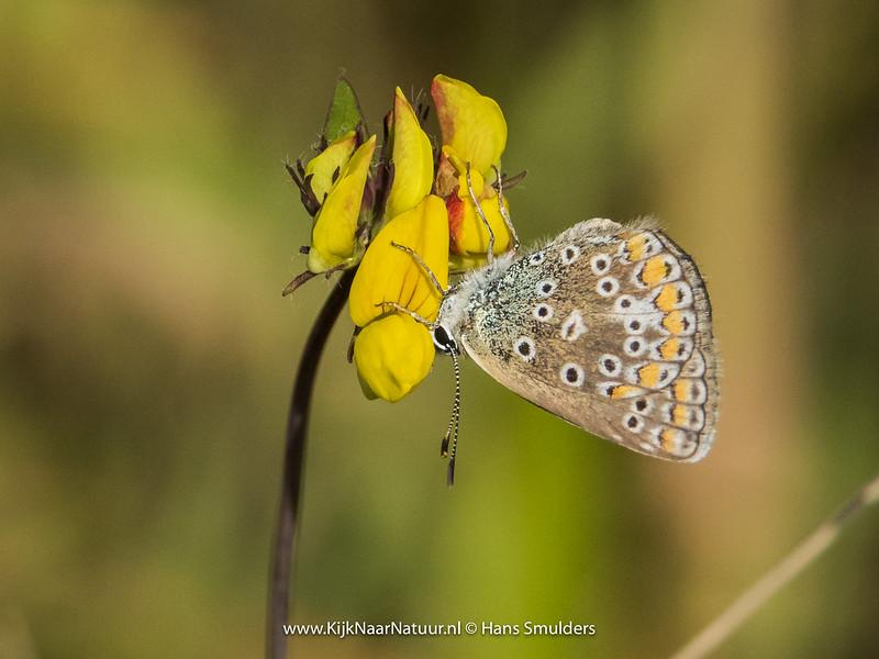 Bruin blauwtje (Aricia agestis)-820_4887
