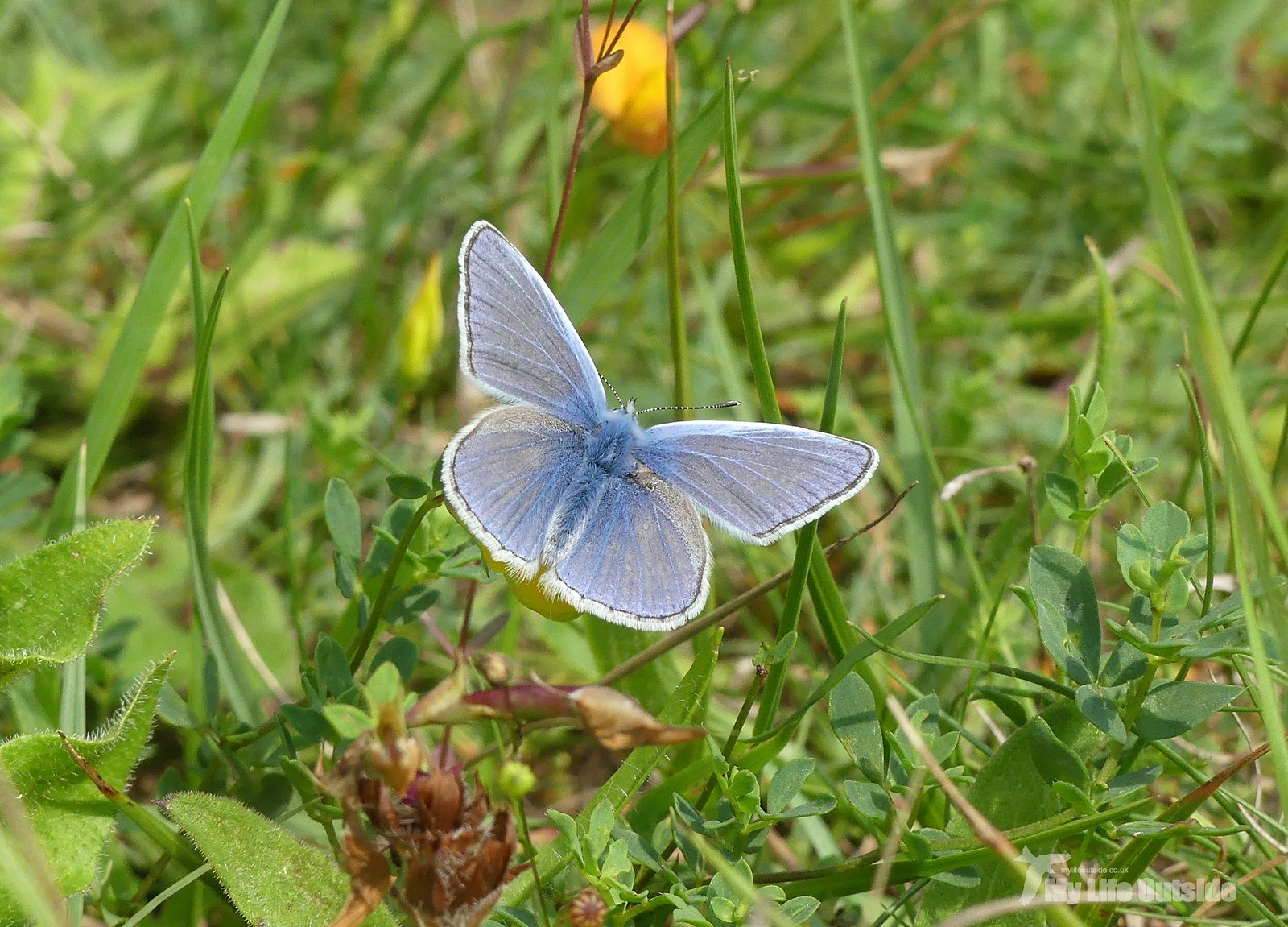 P1240768 - Common Blue, Llanymynech Rocks