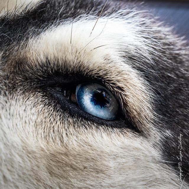 Husky's Eye (explored) #sigma50mmArt #CanonPhotography