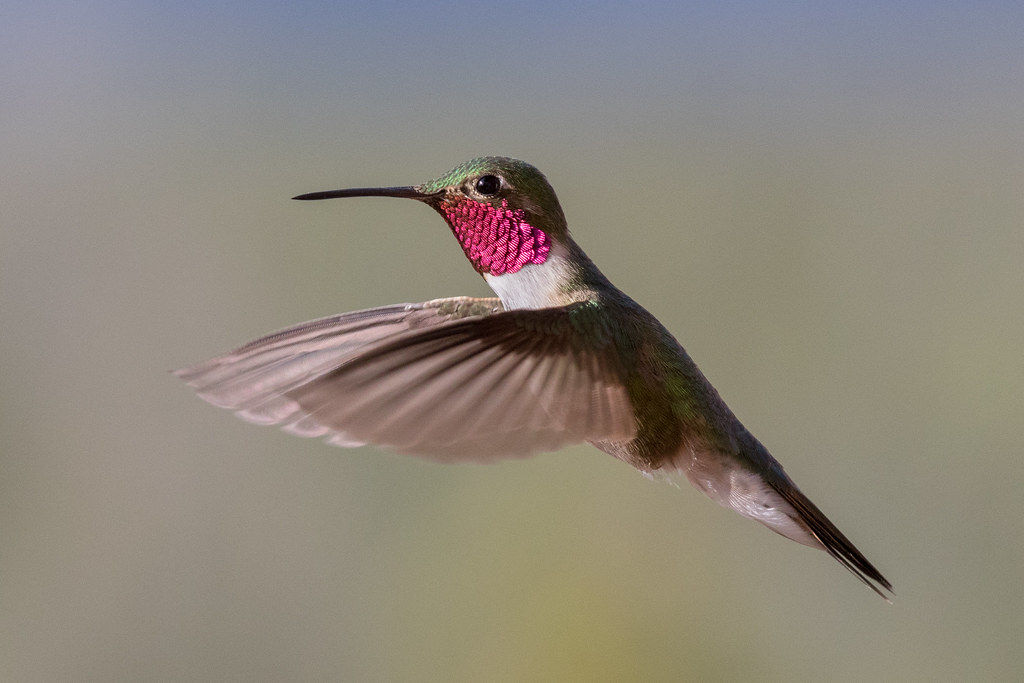The research is in: Hummingbirds can see colors humans cannot. Photo by David Kish.