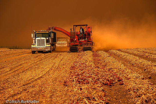 Onion harvest under the forest fire smoke