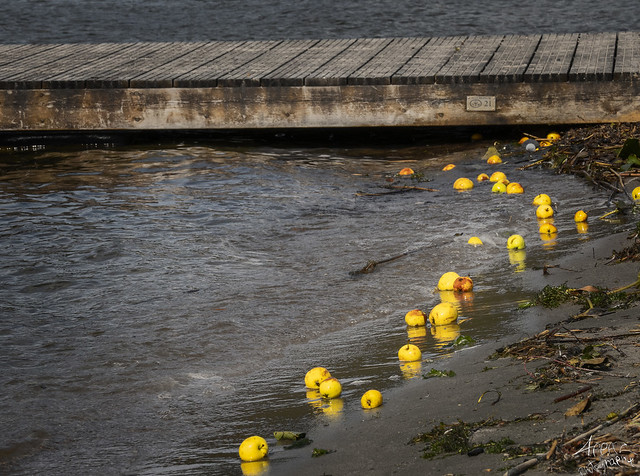 Apples in the Lake, Knudsø Ry 2020