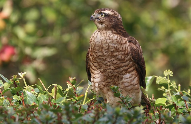 Sparrowhawk -Accipiter nisus- my garden Wool Dorset -100920 (11)