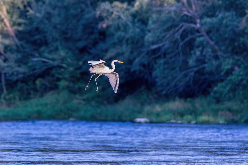 Didysis baltasis garnys / Ardea alba / Great White Egret
