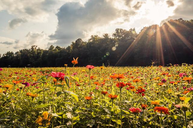 Zinnia Flower Field