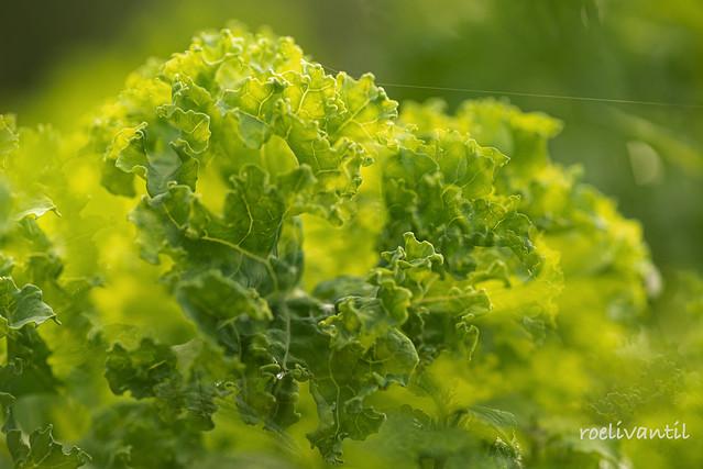 Boerenkool / Leaf Cabbage