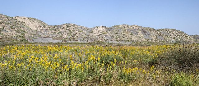 Field of Southern Goldenrod, Solidago confinis