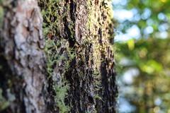 Mossy Pine