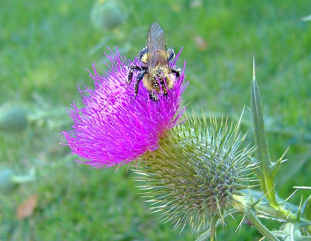 Bumblebee covered in thistle pollen