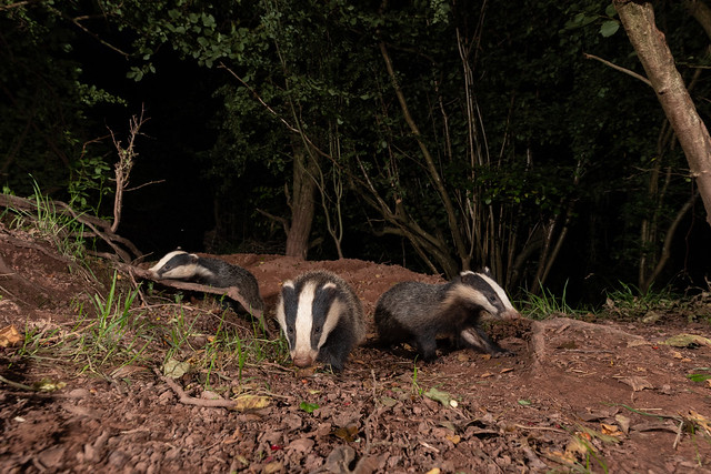 Badgers at 14mm Explored 11/09/2020