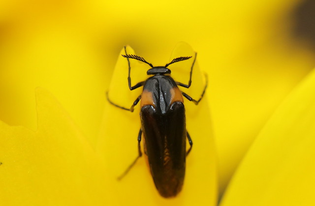 Wasp Nest Beetle. (1 of 3)