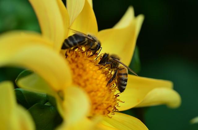 Munich - Bees on yellow