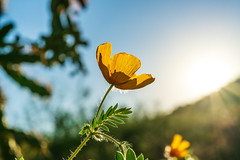 2020 09 Desert Poppy