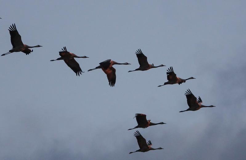 A crane flock