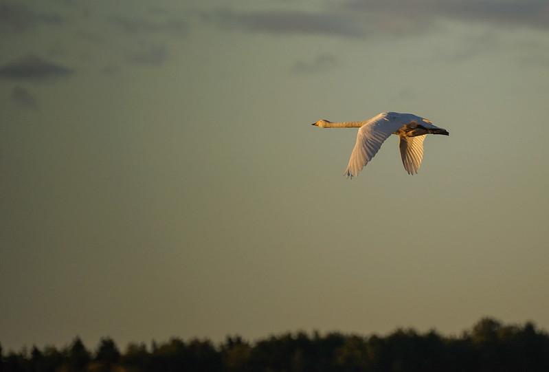 A swan flying