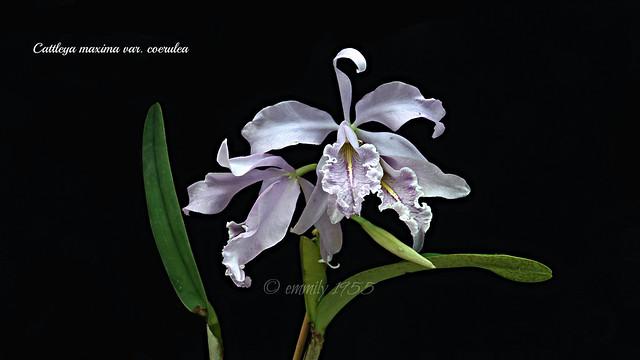 Cattleya maxima var. coerulea ' Alexandra '  #3