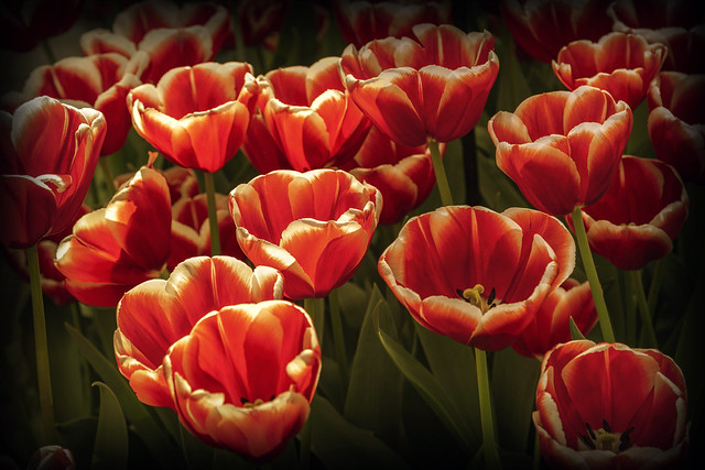 Red-White Tulips. Keukenhof
