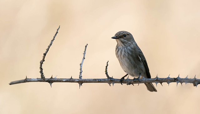 Papa moscas cinzento | Muscicapa striata | Spotted Flycatcher
