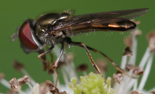 insect diptera fly syrphidae syrphinae platycheirus northcarolina roanmountain canonef100mmf28macrousm inaturalist platycheirusobscurus